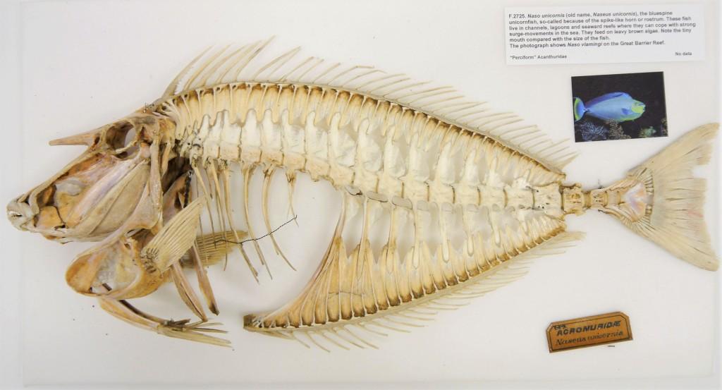 Photograph of a unicornfish skeleton