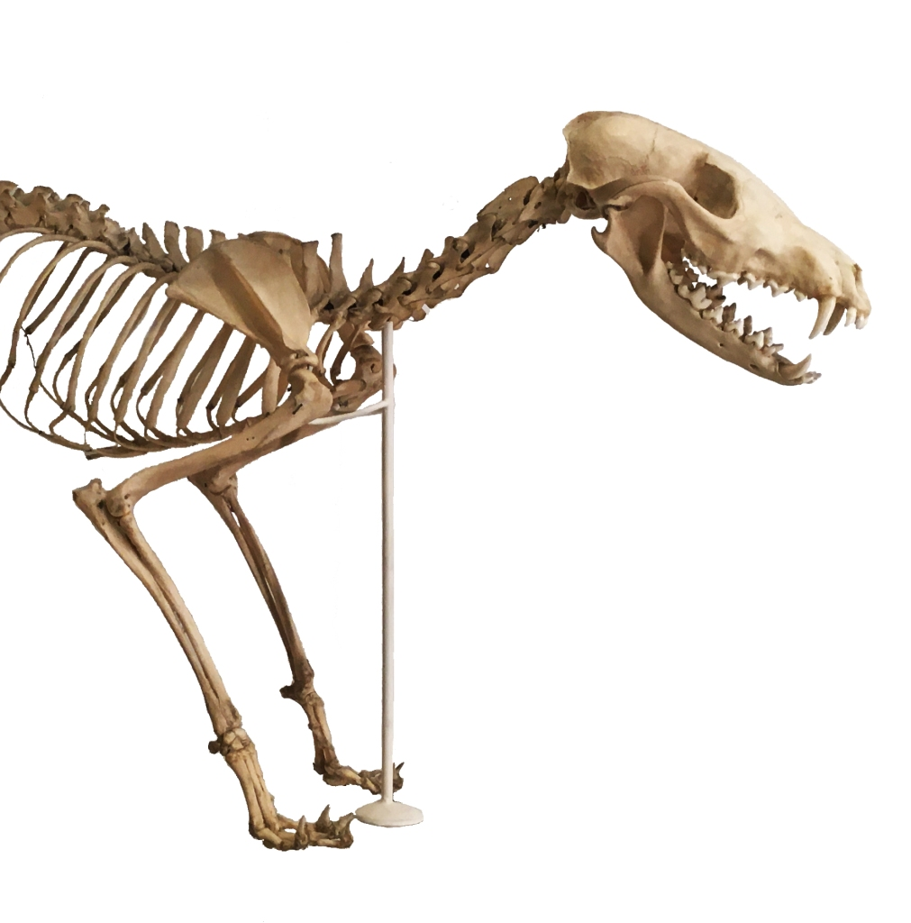 Front half of a fox skeleton