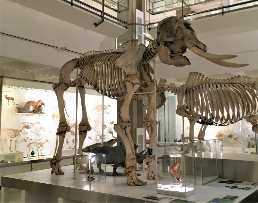 African elephant skeleton on display in the Museum of Zoology