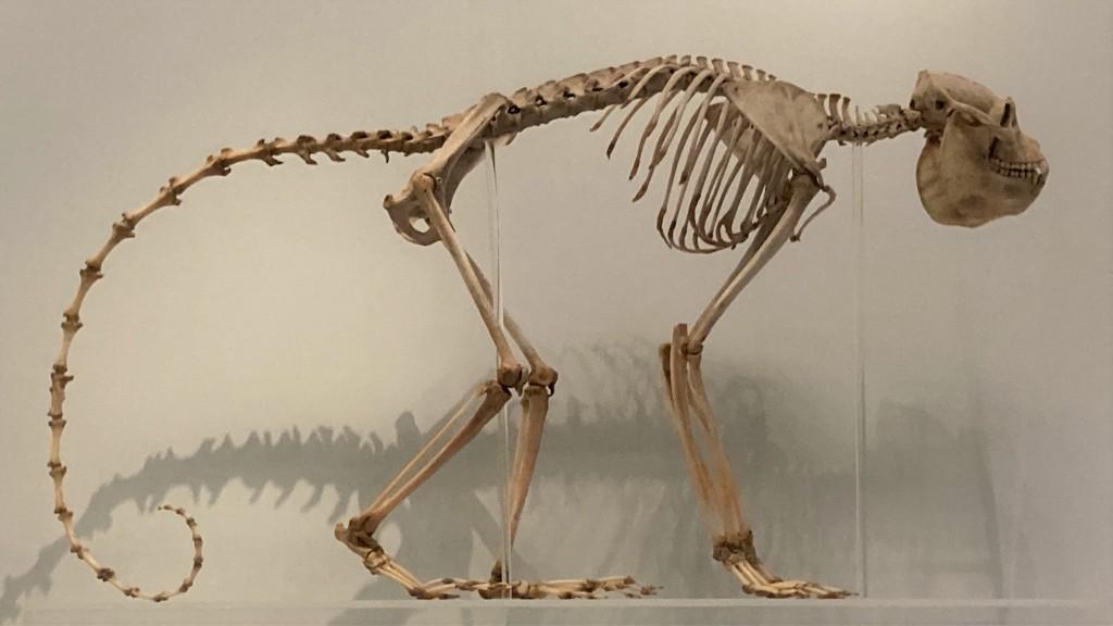 Skeleton of a howler monkey