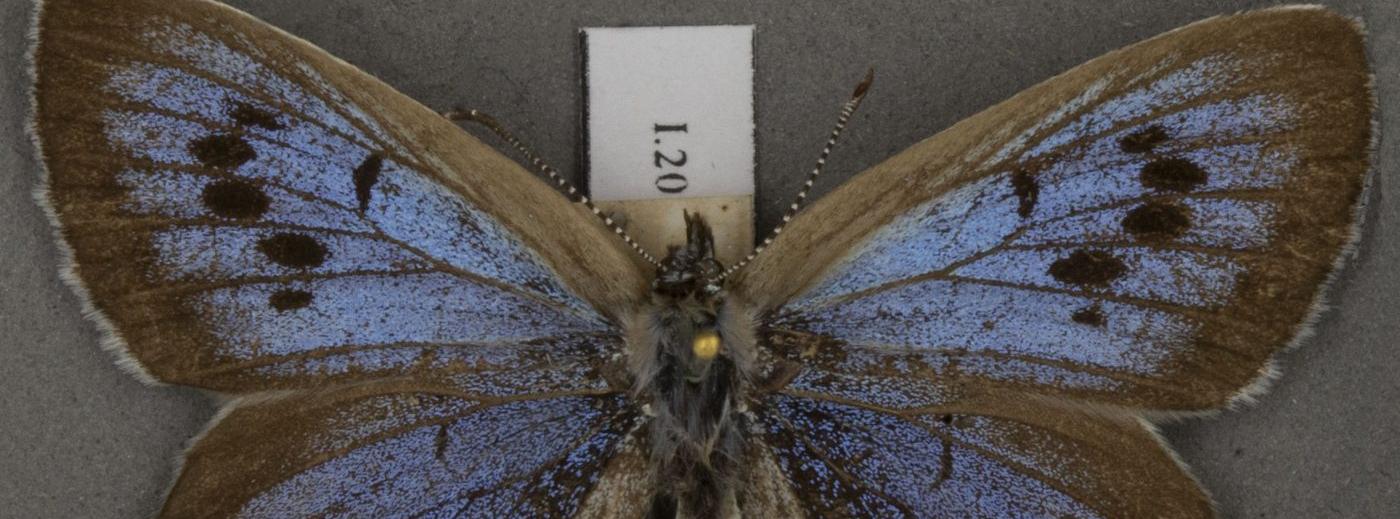 Large blue butterfly specimen, UMZC