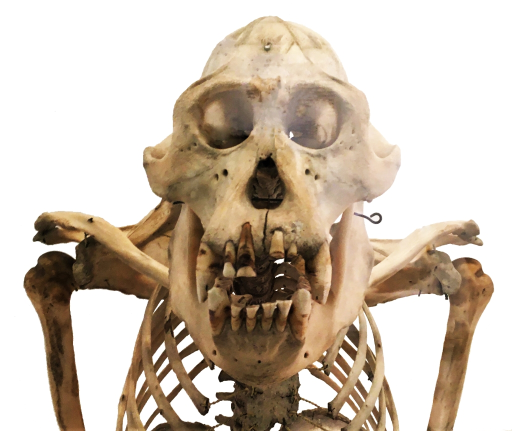 Head and shoulders of an orangutan skeleton
