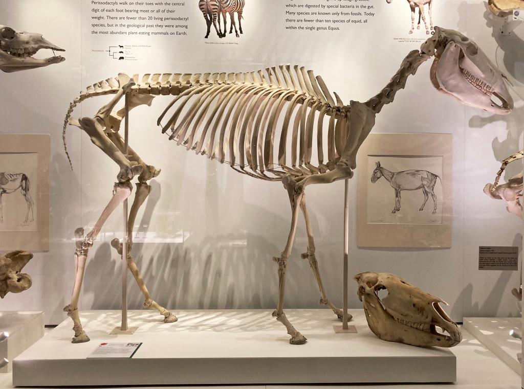Przewalski horse skeleton
