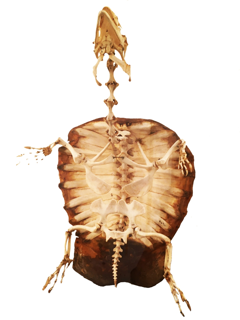 Turtle skeleton showing ribs and backbone fused to the shell