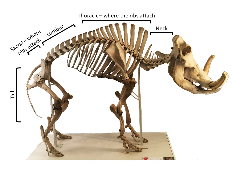 Warthog skeleton labelled up with the main regions of the backbone