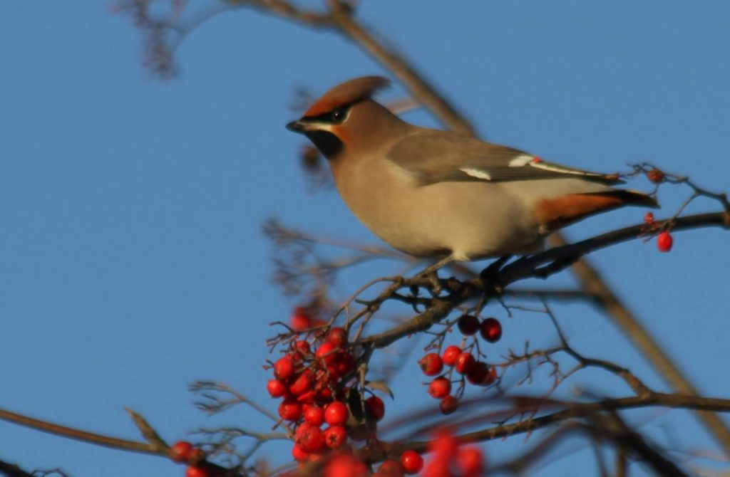 Waxwing perched with berries