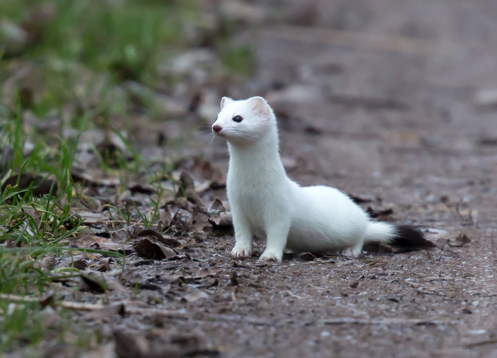 Stoat with white fur