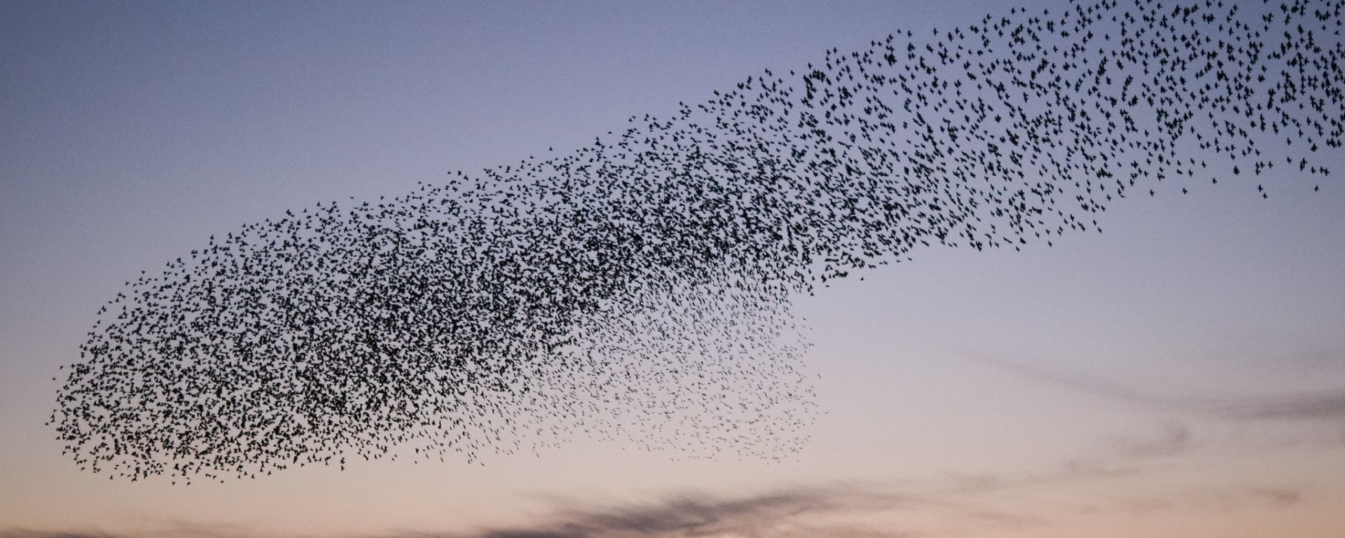 Startling murmuration in the sky at sunset