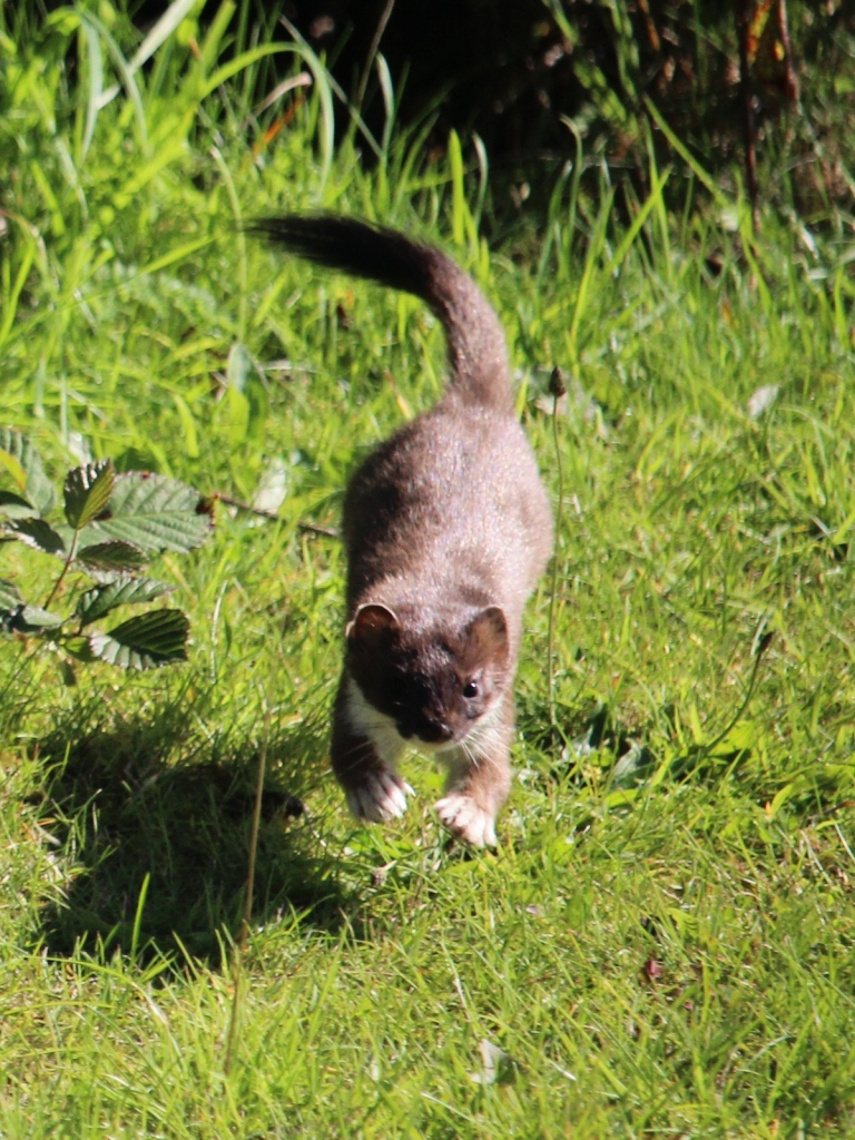 Stoat with brown fur