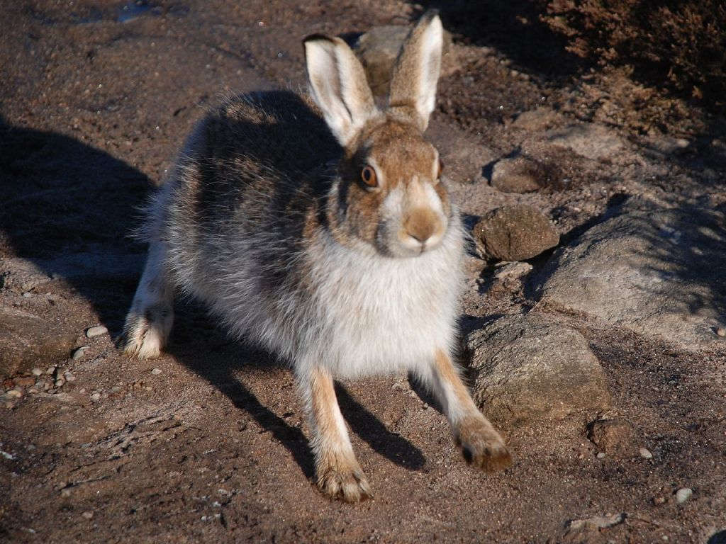 Mountain hare with brown fur