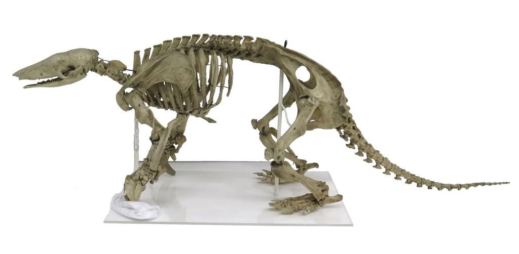 Skeleton of an Armadillo