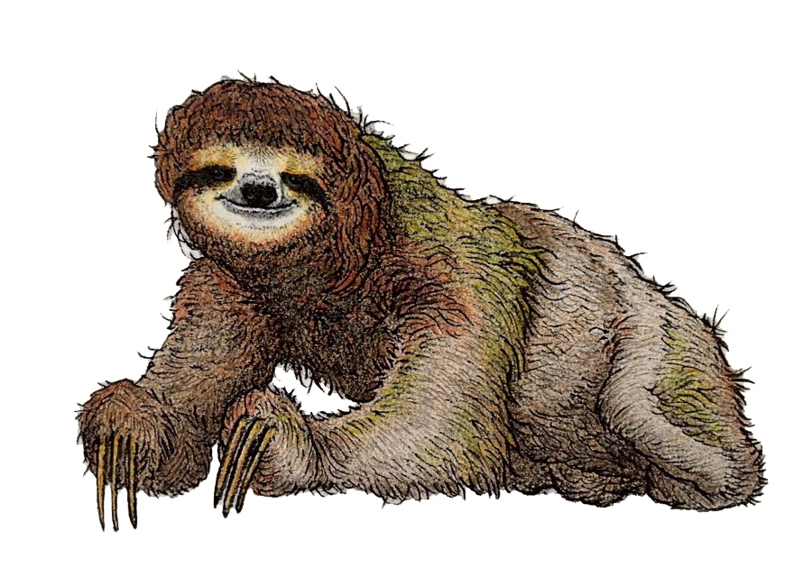 Illustration of a brown-throated sloth three-toed sloth