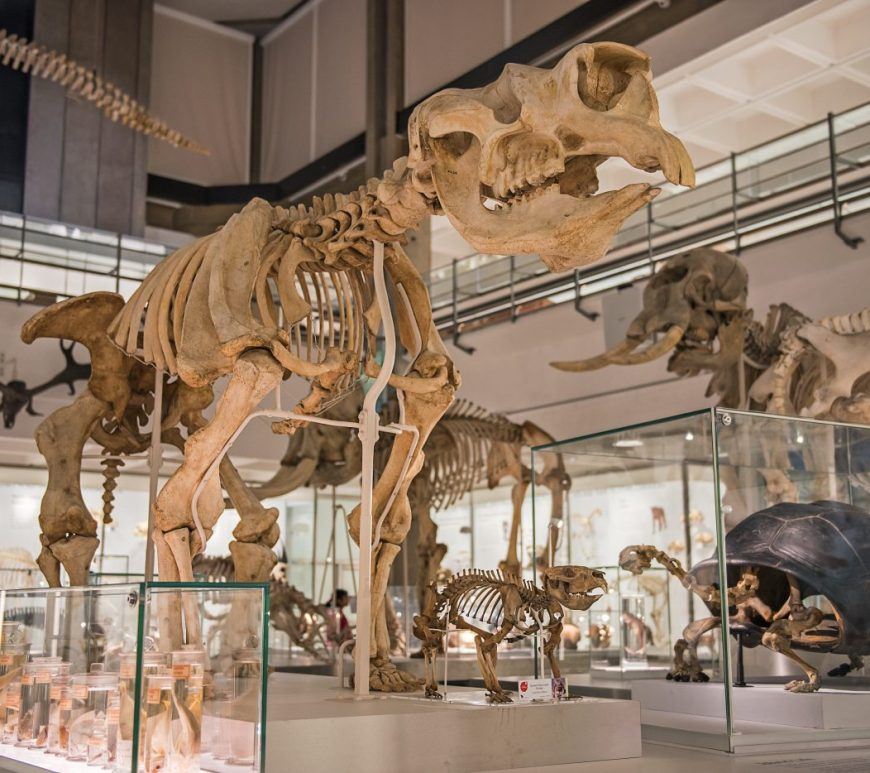 Skeleton of the cast of the Diprotodon skeleton, with other skeletons in the background