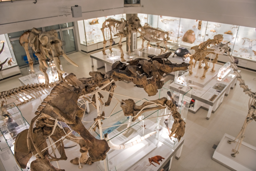 Giant ground sloth skeleton and other large skeletons in the lower gallery of the Museum of Zoology