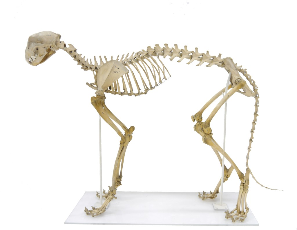 Skeleton of a cheetah