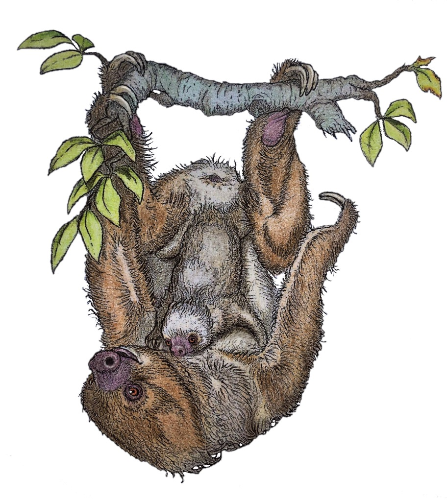 Illustration of a two-toed sloth with a baby
