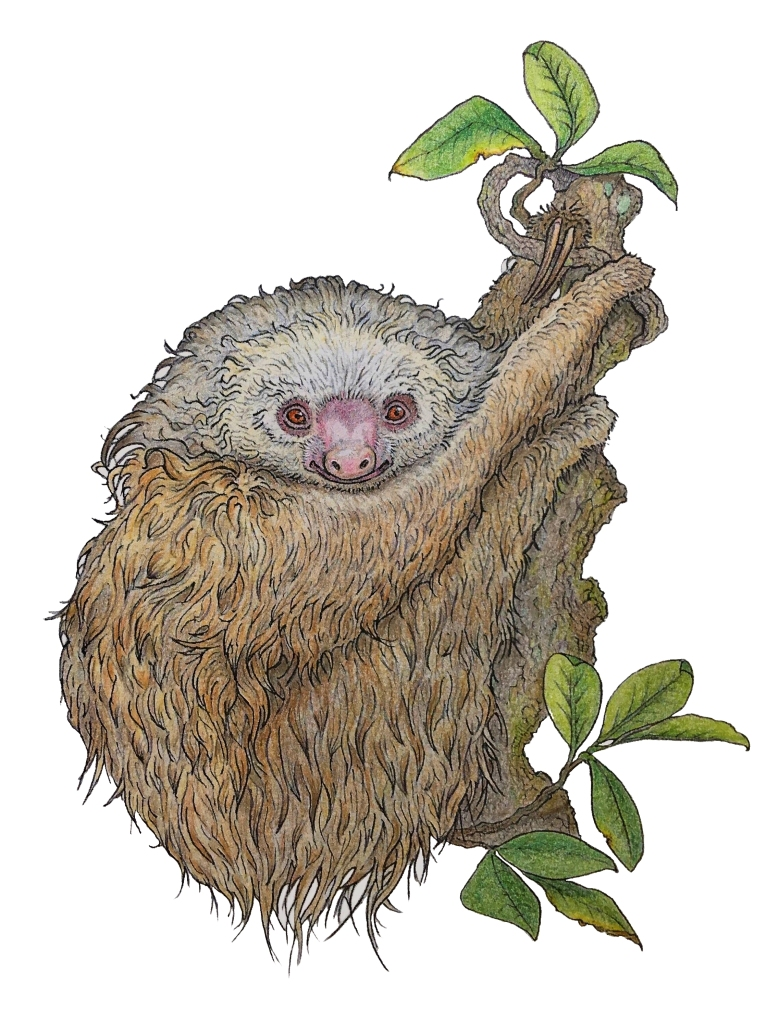 Illustration of a two-toed sloth