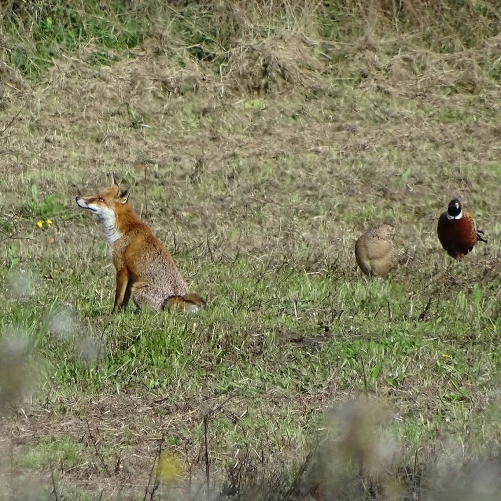 Red fox and pheasants