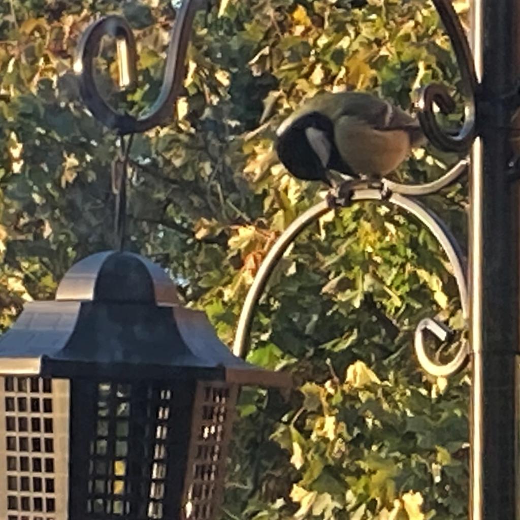 Great tit feeding on a bird feeder
