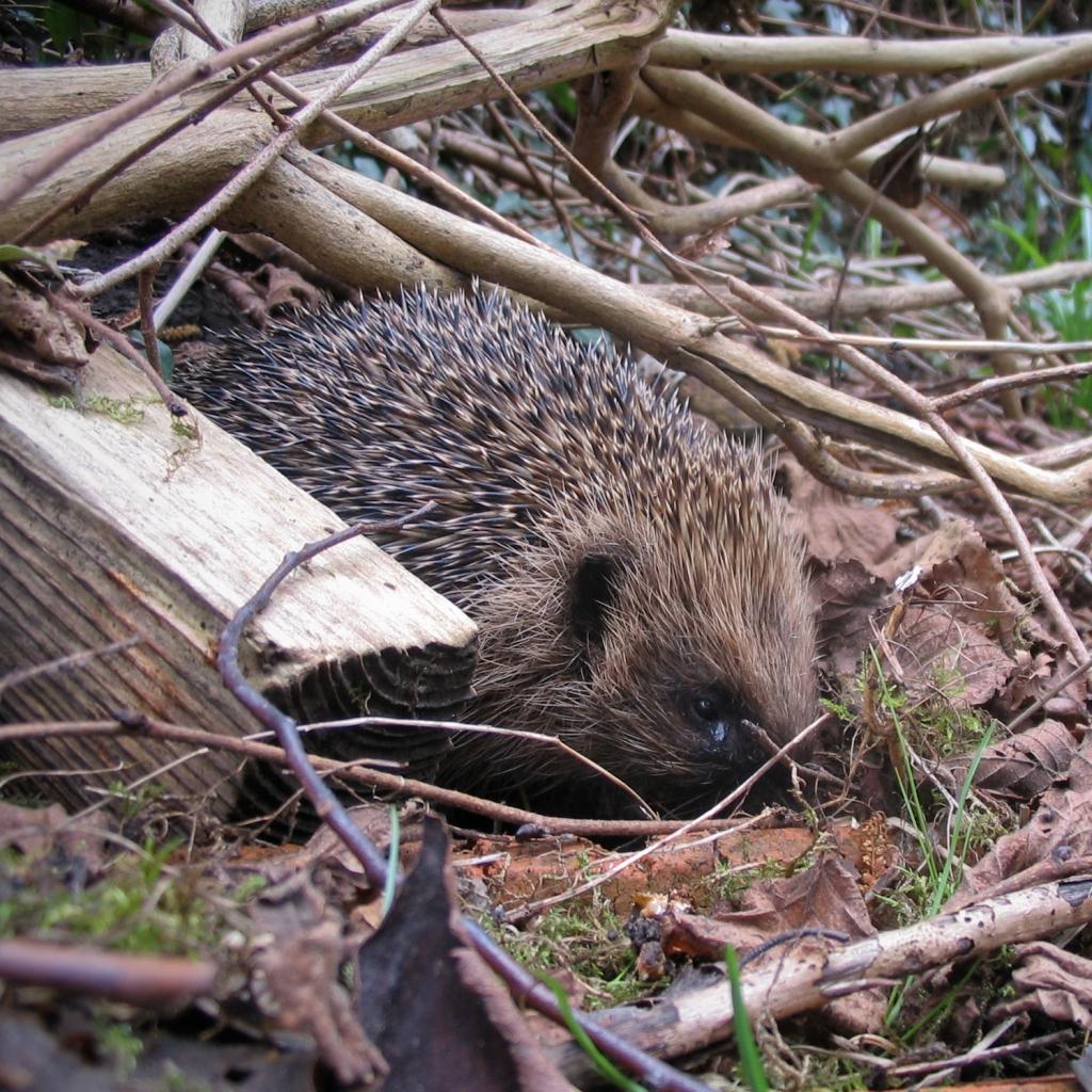 Hedgehog emerging from hibernation