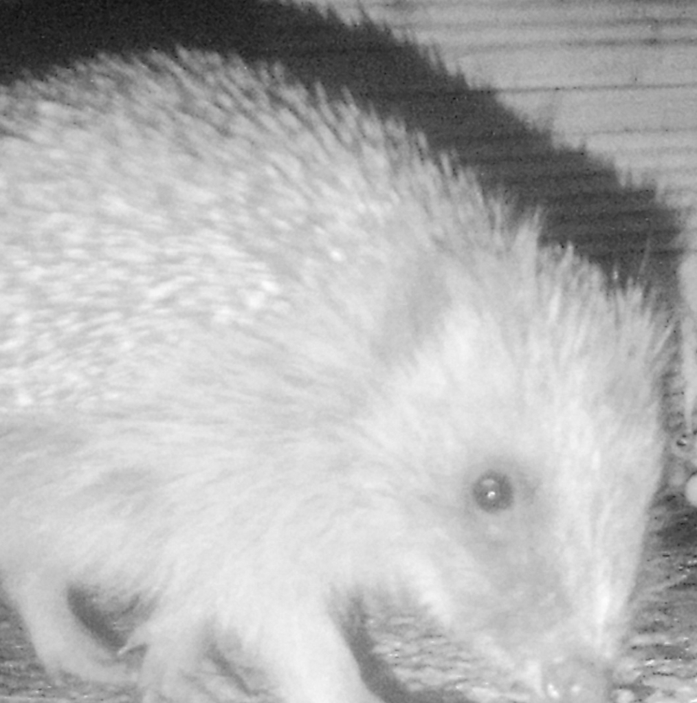 Hedgehog in front of a hedgehog house