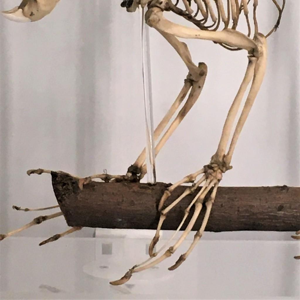 Skeleton forelimbs
