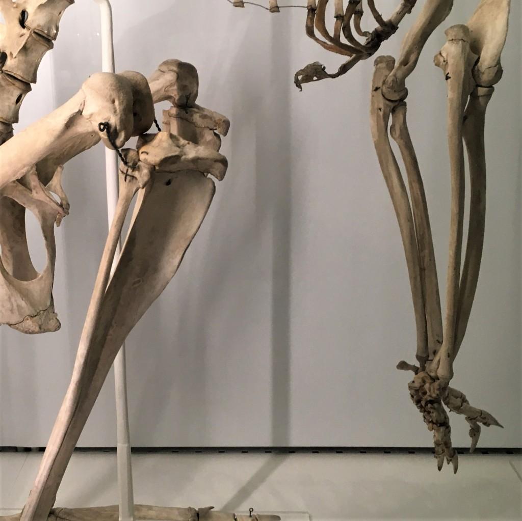 Limbs skeletons of an animal