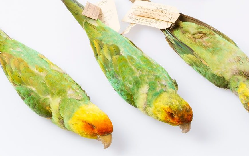 Three Carolina parakeet skins from the Museum of Zoology
