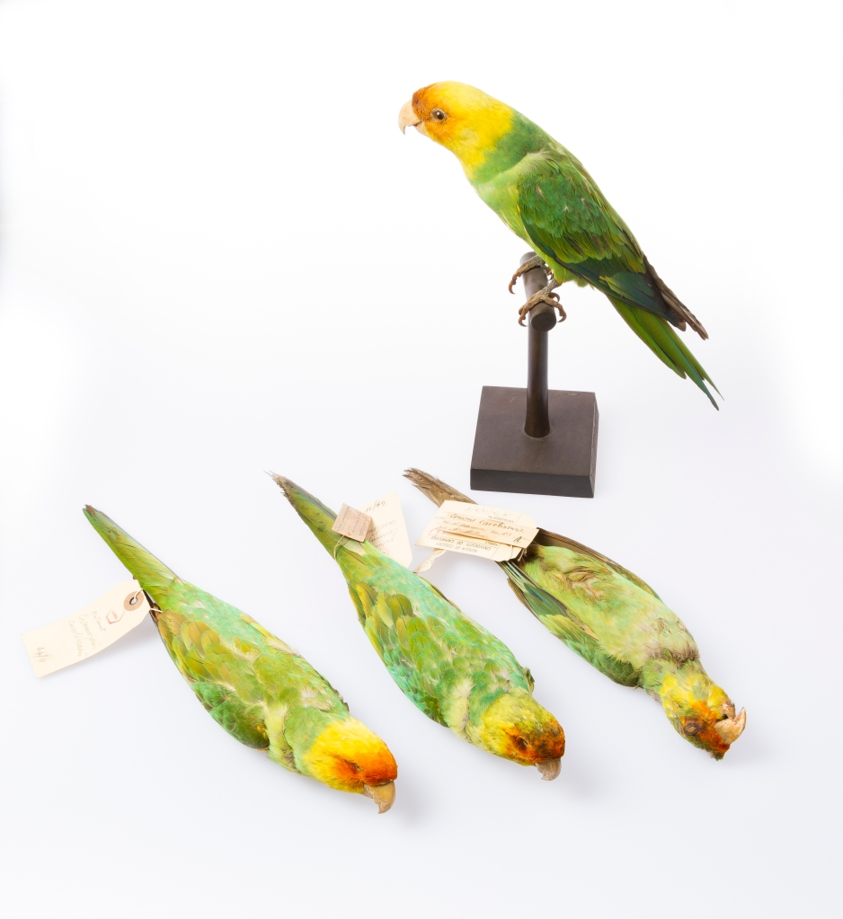 Photograph of four skins of the extinct Carolina Parakeet from the Museum of Zoology
