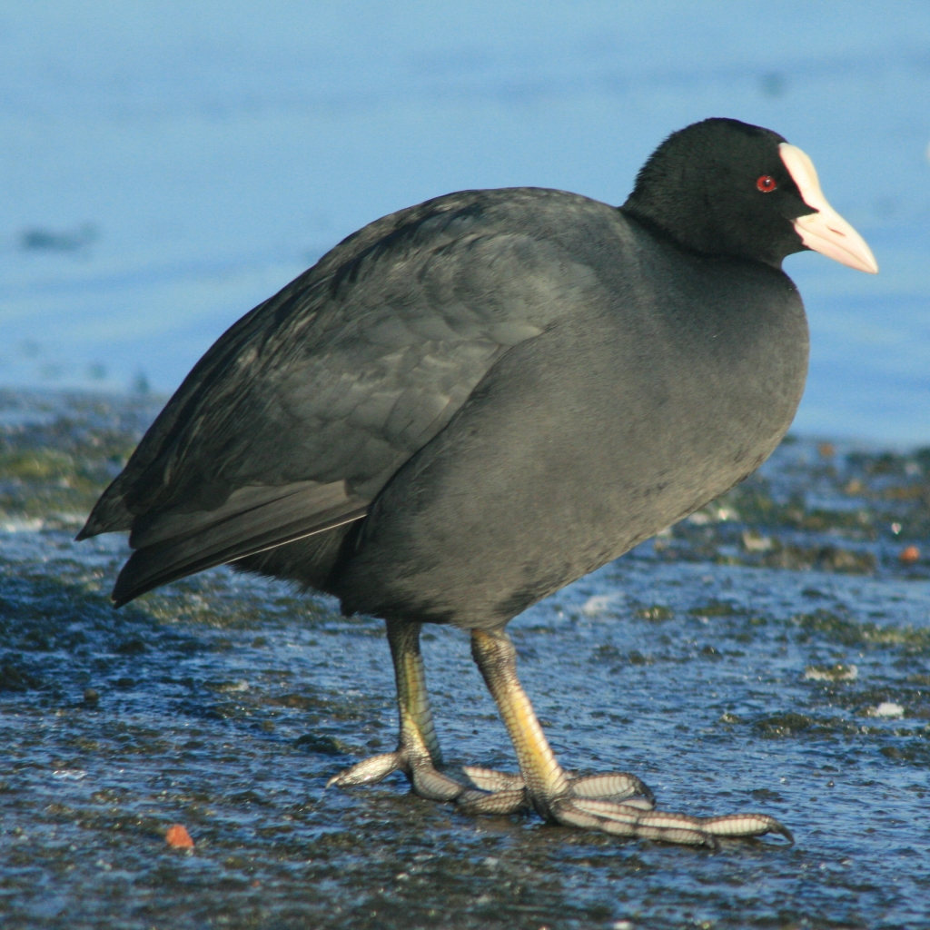 Coot on the bank of a lake