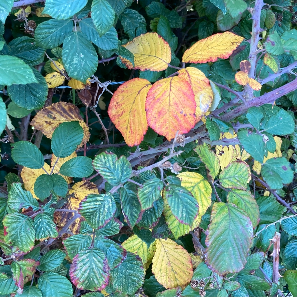 Bramble leaves changing colour in autumn