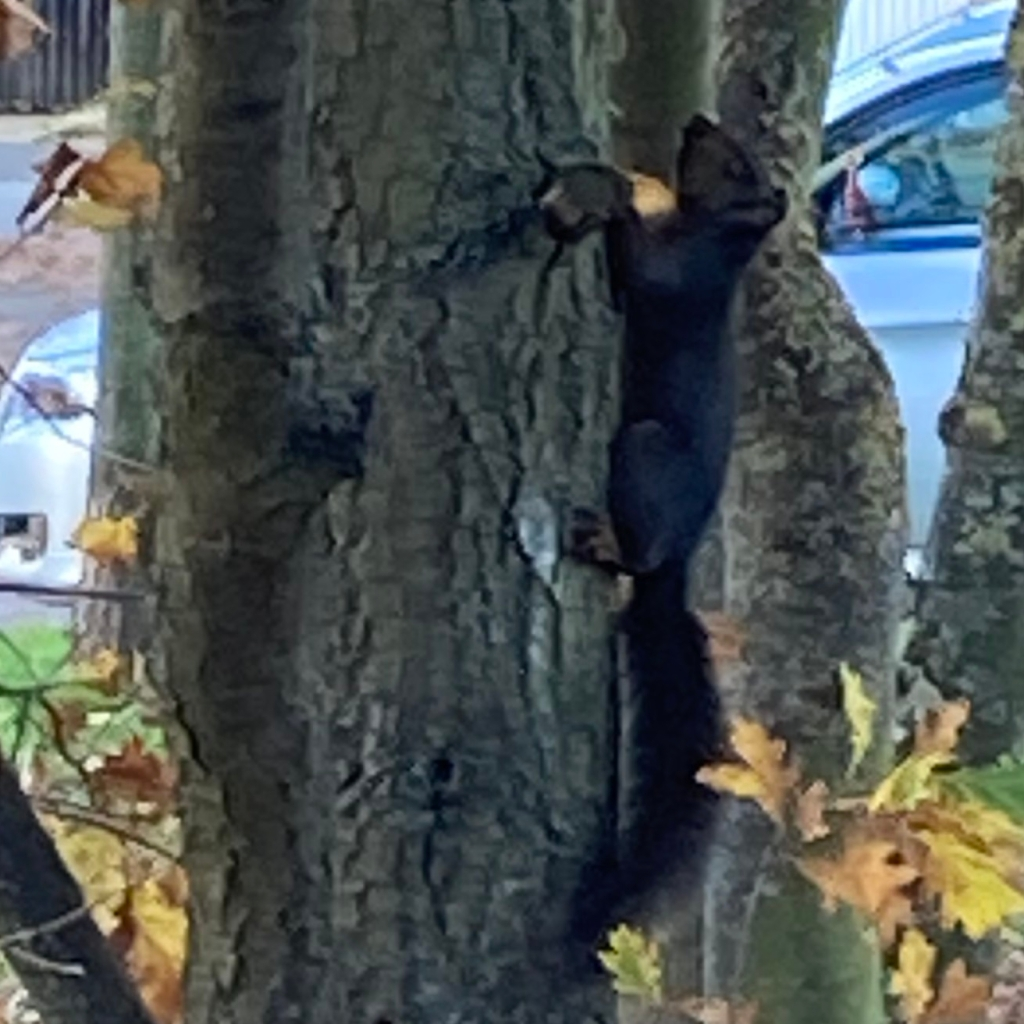 Black squirrel climbing up a tree trunk