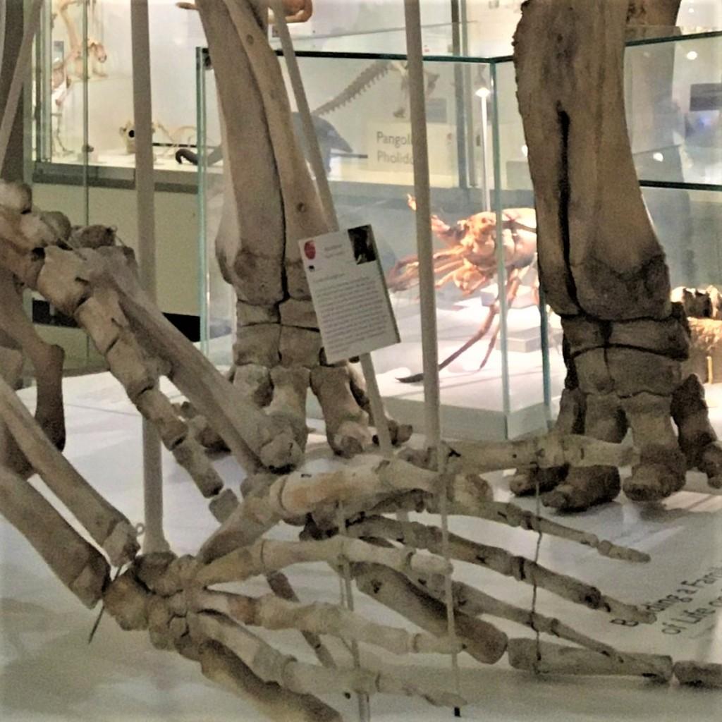 Elephant and elephant seal limb skeletons