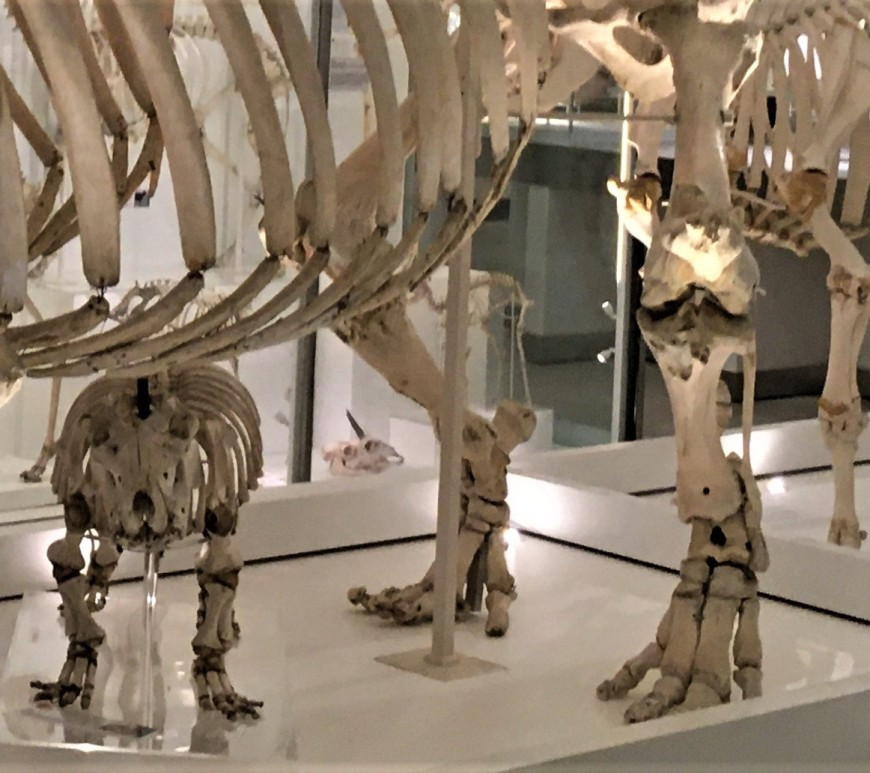 Legs of skeletons of hippo and other large herbivorous mammals, with a hippo calf skeleton