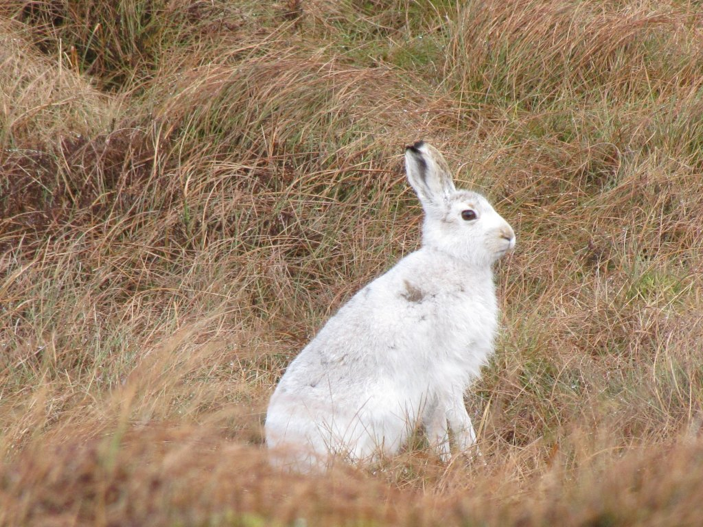 Mountain Hare with white fur for winter