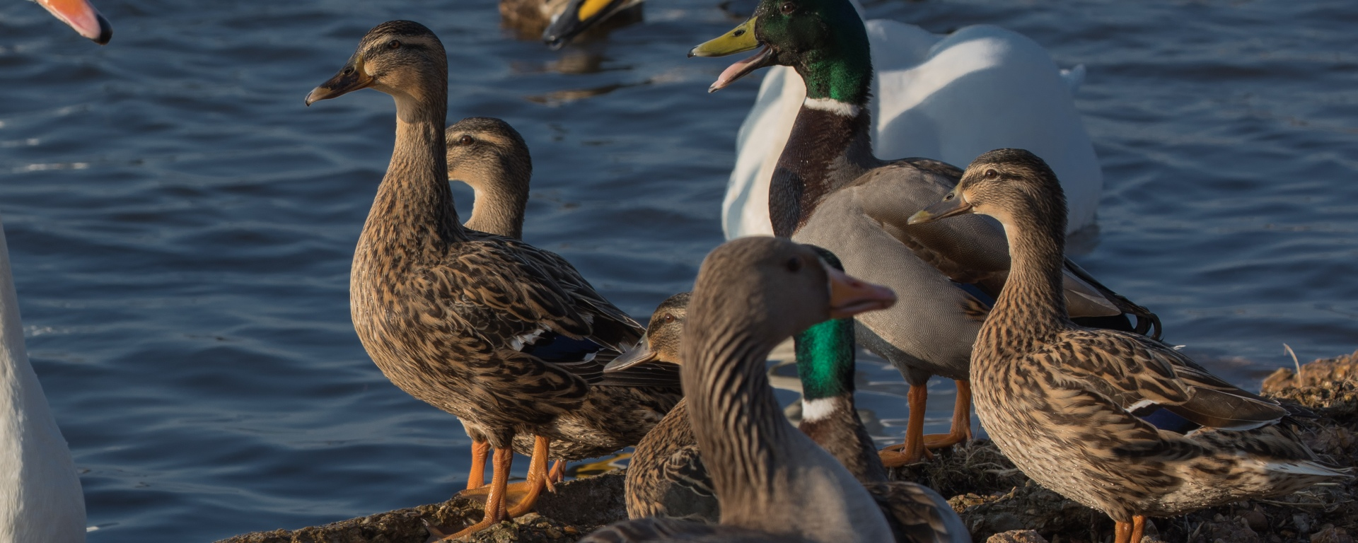 Group of mallards and swans