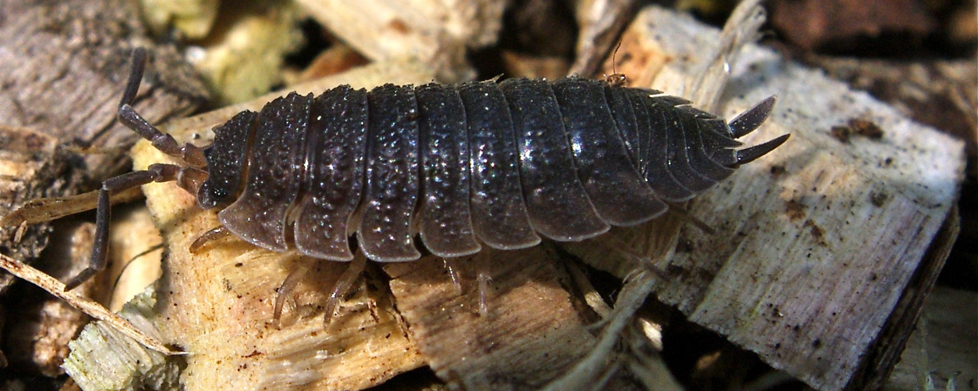 Woodlouse on wood chippings