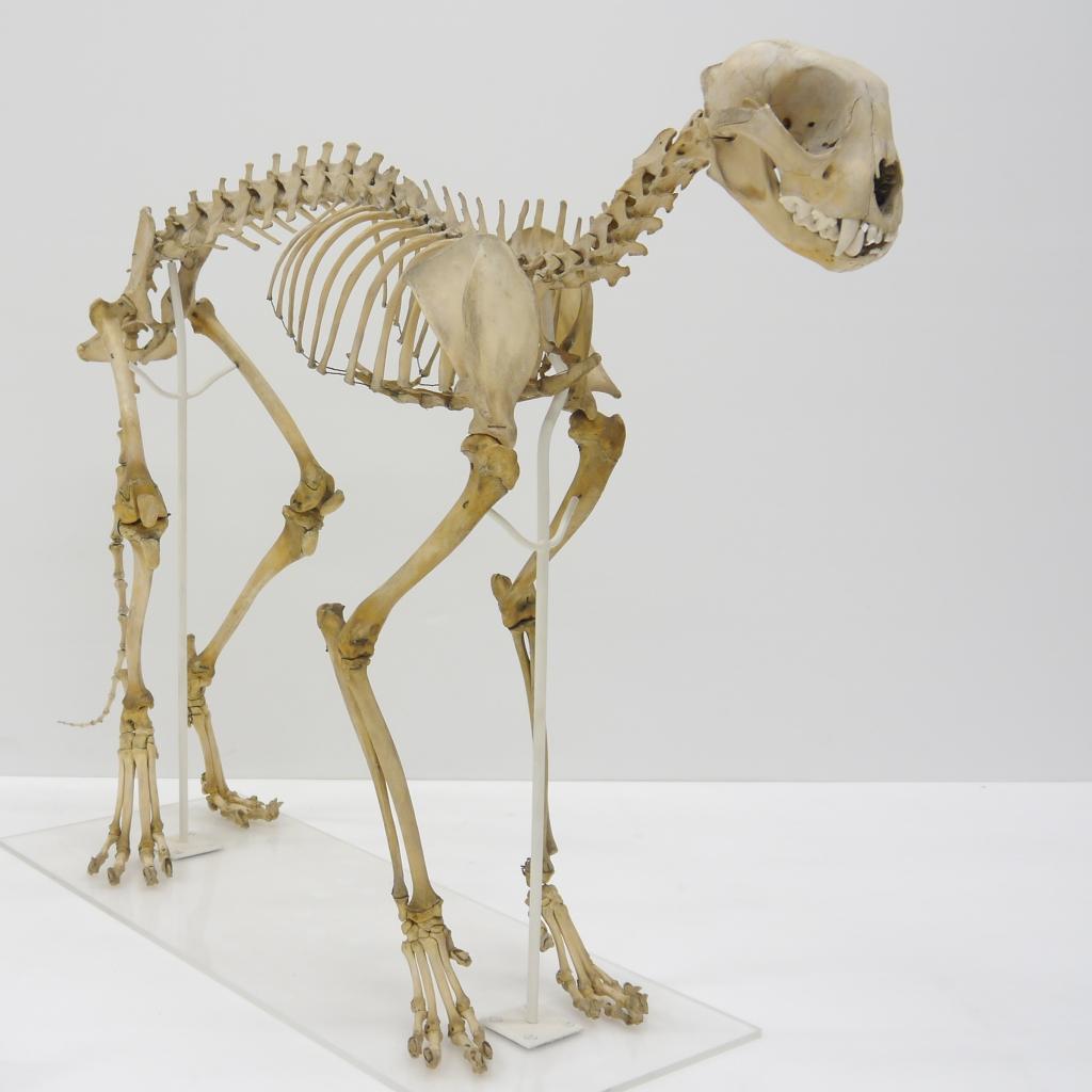 Cheetah skeleton