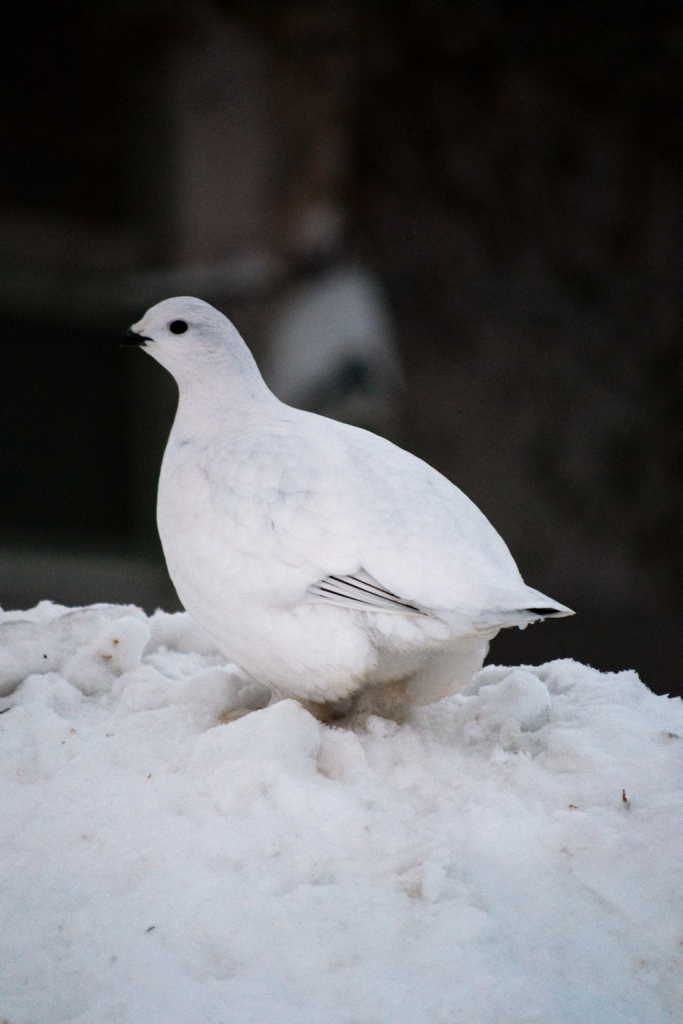 Ptarmigan with winter plumage
