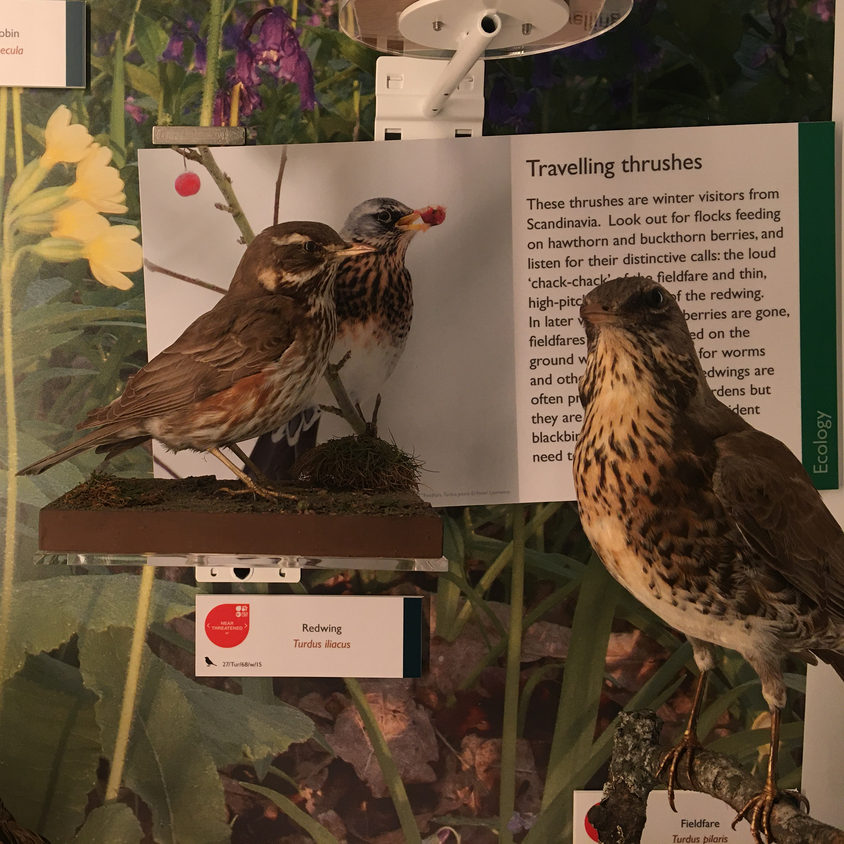Redwing and Fieldfare specimens on display in the Museum of Zoology