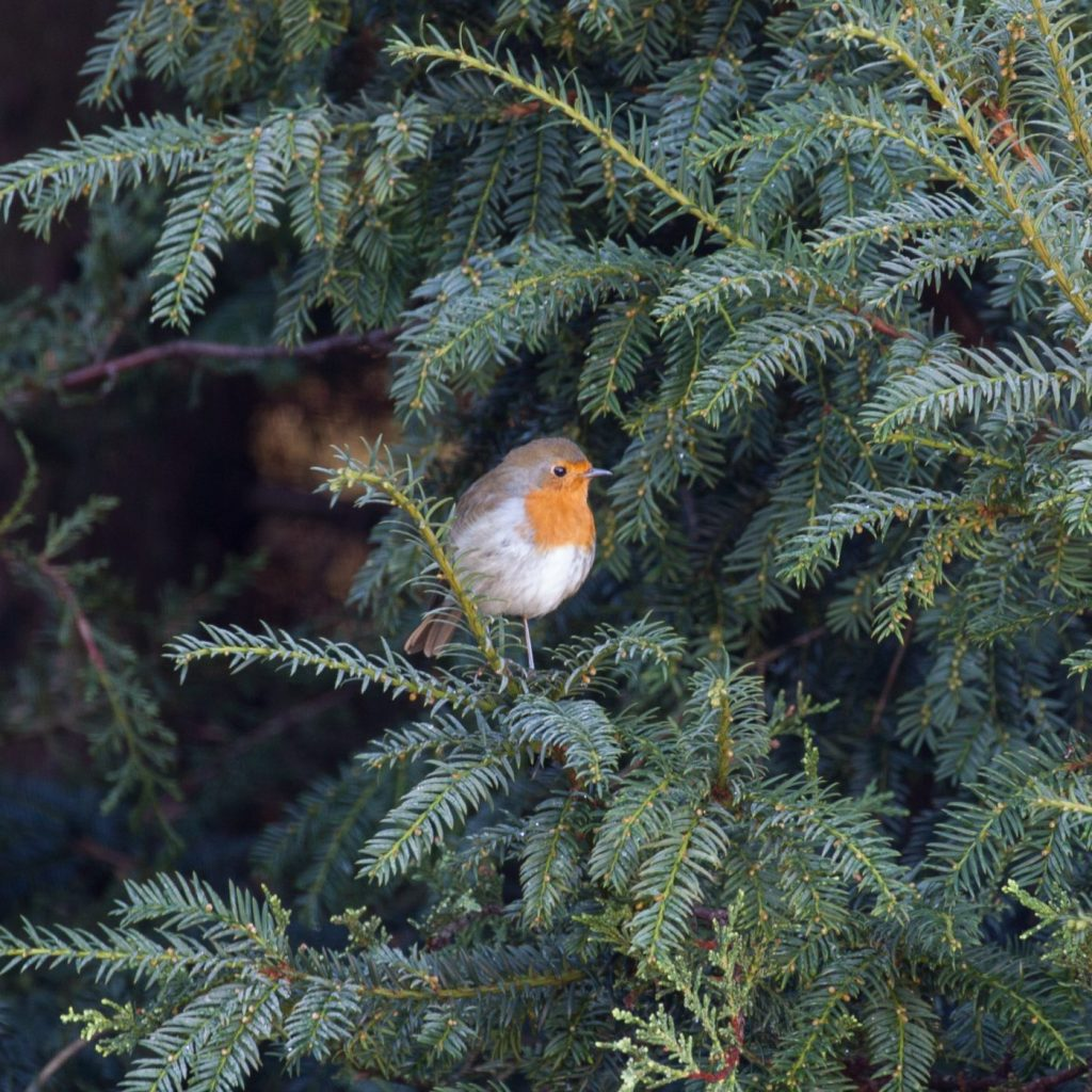 Robin perched in a yew tree