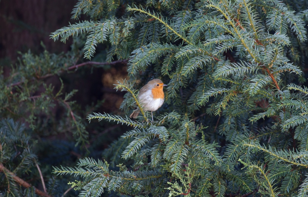Photograph of a robin in a yew tree