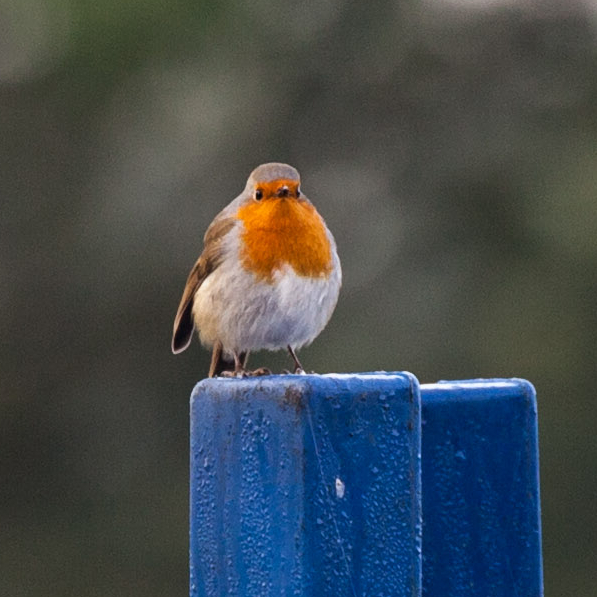 Robin on a blue post