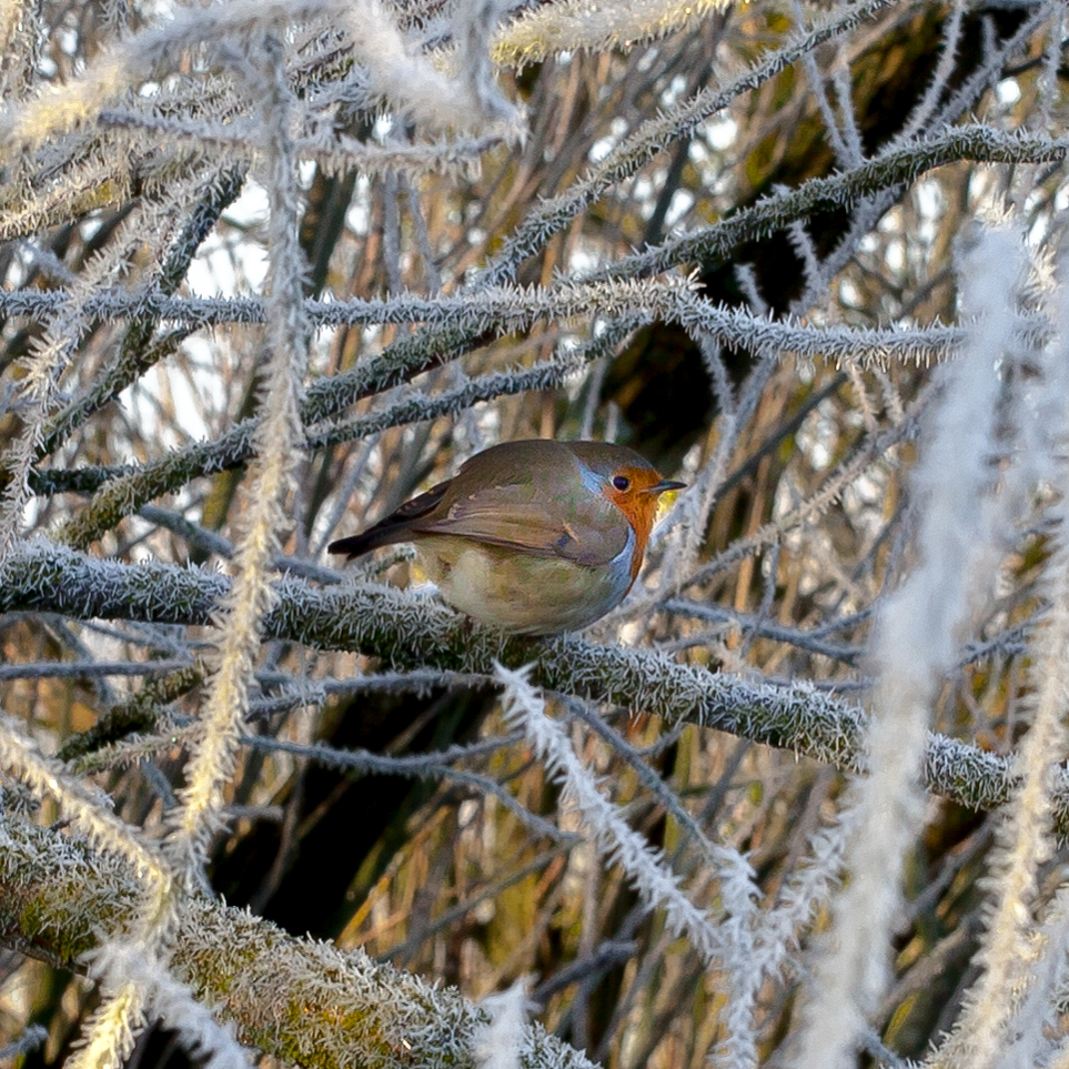 Robin on frosted willow branches