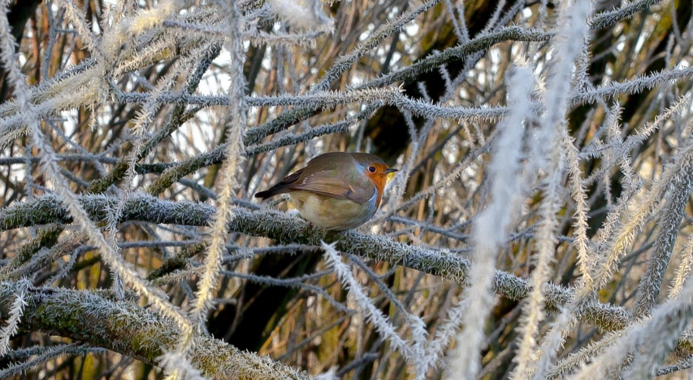Robin on the frosted branches of a willow