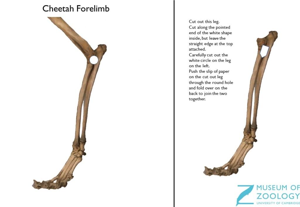 Cheetah forelimb model