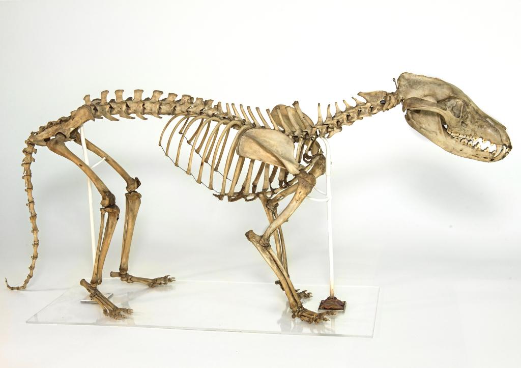 Skeleton of a thylacine