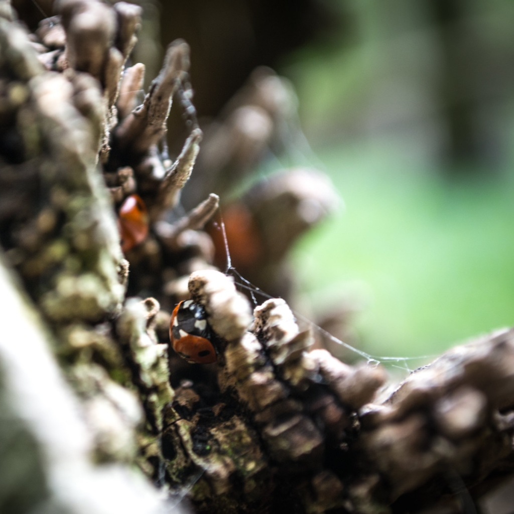 Ladybirds in the crevices of a tree branch