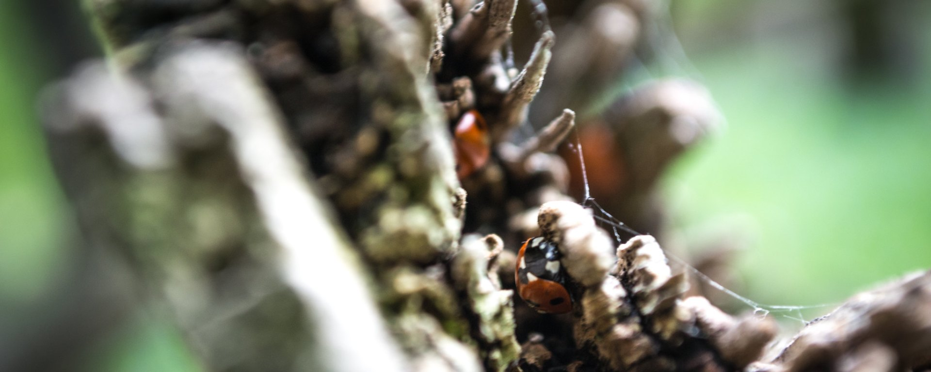 Ladybirds in the crevices of a branch
