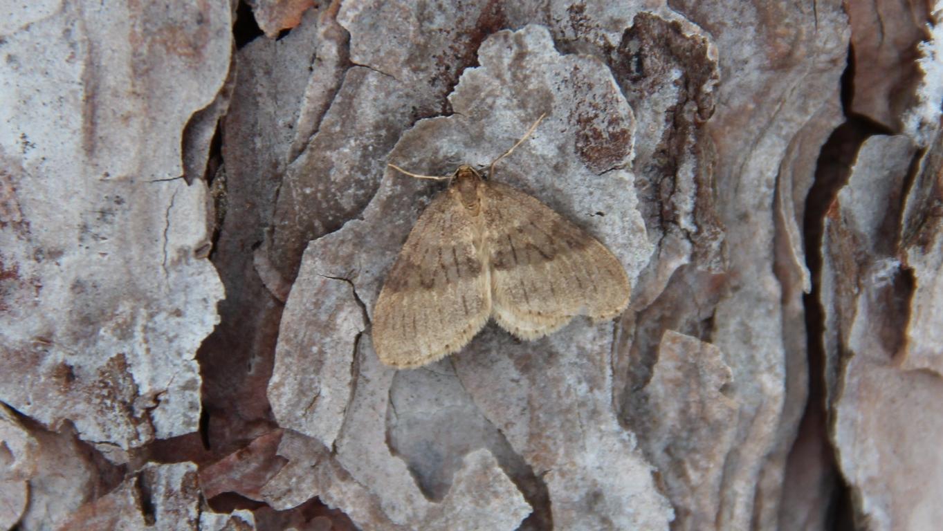 Winter moth on pine tree bark